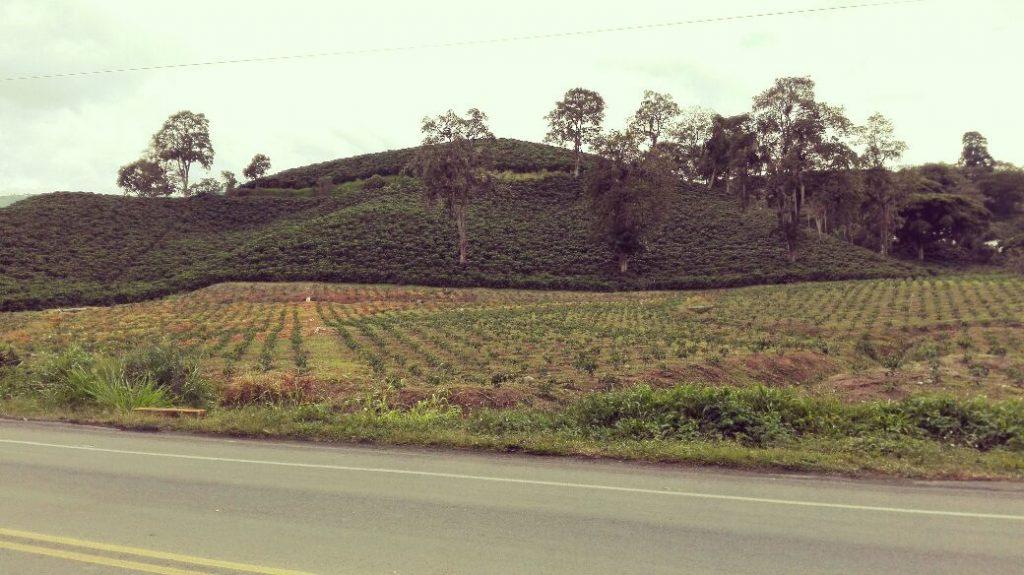 coltivazioni di caffè-manizales-pereira-colombia