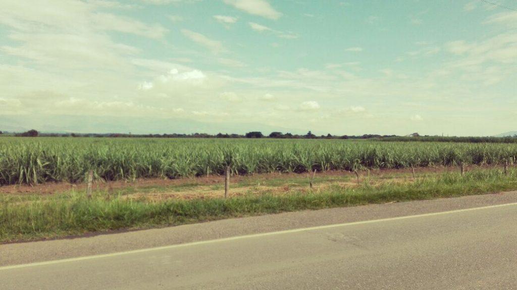 coltivazioni canna da zucchero nocive per l'ambiente