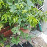 Si riempiono i vasi di terra, dopo un mese le nuove piante avranno messo le radici!