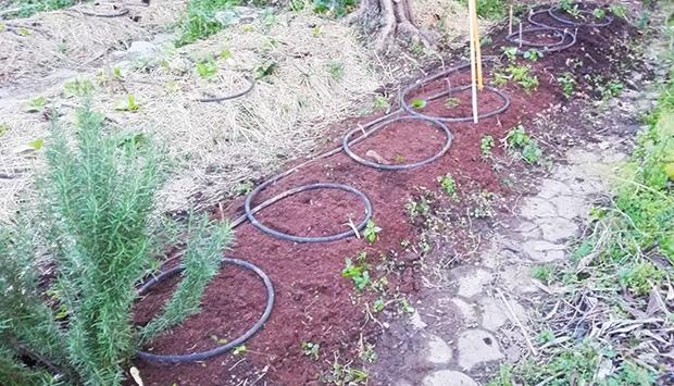 stesura tubo irrigazione sui bancali