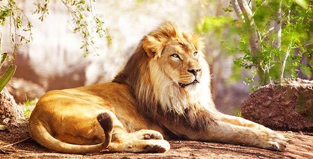 l'ego del leone