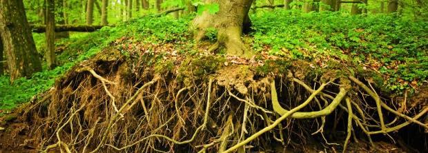 le radici trattengono l'acqua