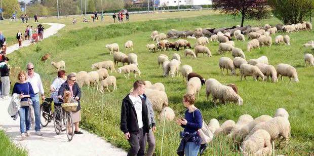 pecore e capre per tagliere l'erba nei parchi