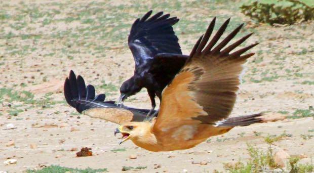 corvo attacca aquila
